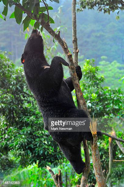 Asiatic black bear or Moon bear (Ursus thibetanus) at Animals Asia Foundation Sanctuary, Tam Dao National Park.