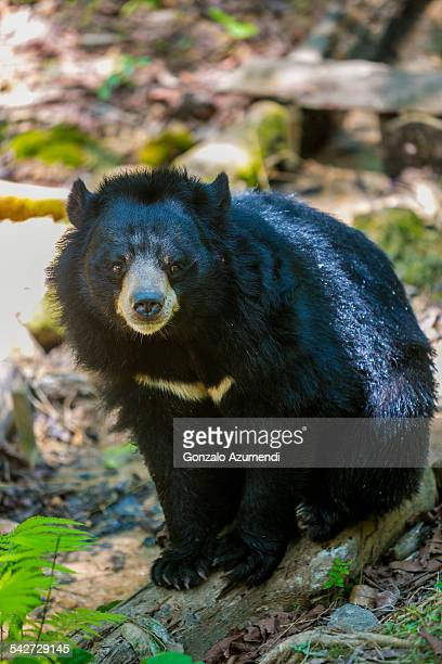 Asiatic Black Bears in Luang Prabang.