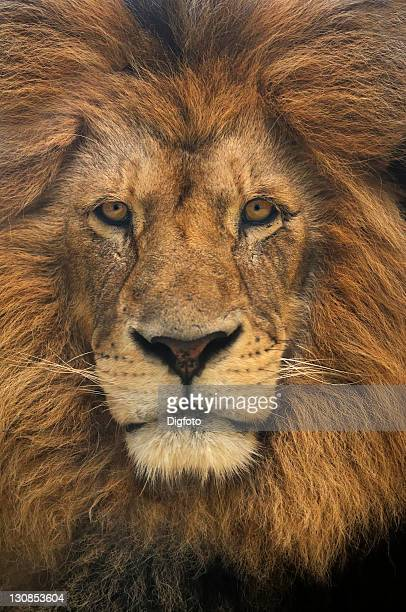 Asiatic Lion (Panthera leo persica), male, portrait