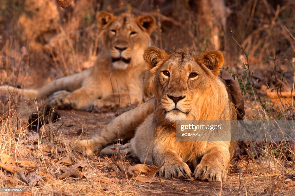 Asiatic Lion (Panthera leo persica) : Stock Photo