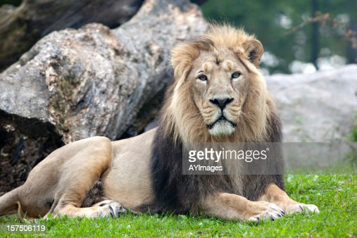 Panthera leo persica - photo#27