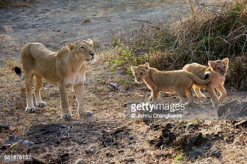 Asiatic lioness with her cubs