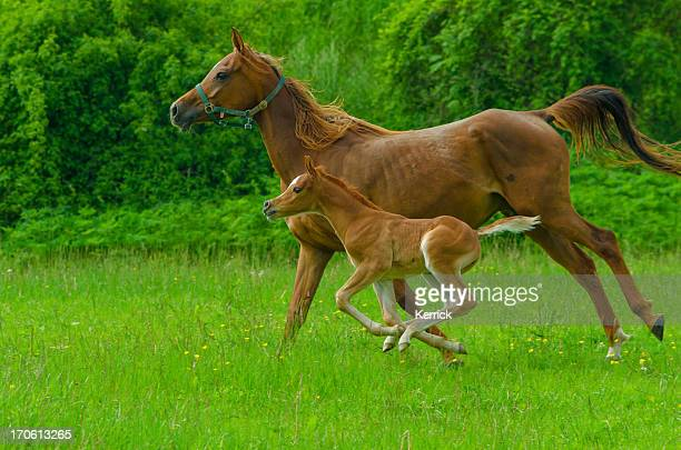 Asil Arabian horses - mare and foal in gallop