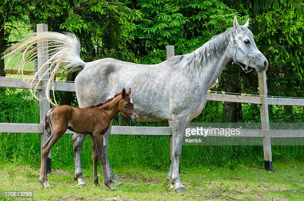 Asil Arabian horses - mare and newborn foal