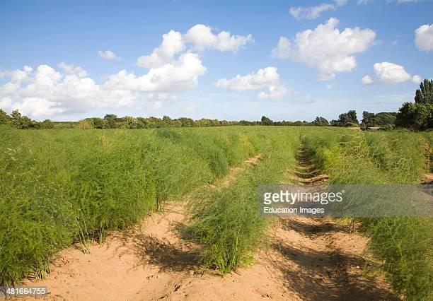 Asparagus crop growing in a field Hollesley Suffolk England