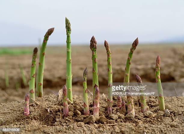 Asparagus growing in field, Kijimadaira, Nagano Prefecture, Japan