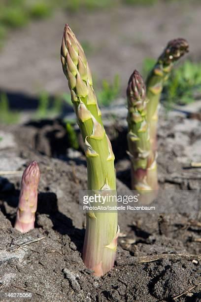 Asparagus growing in field