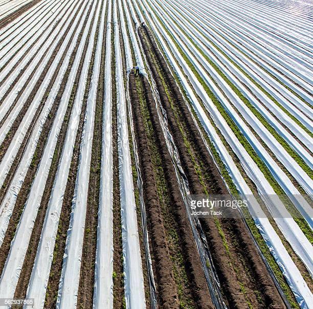 Asparagus harvest, workers covering asparagus dams with plastic sheets, Walbeck, Niederrhein or Lower Rhine region, North Rhine-Westphalia, Germany