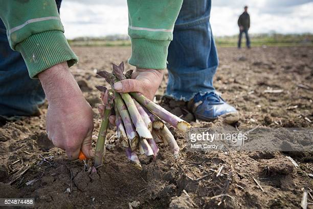Asparagus is picked by hand in a field at Broadlands Farm near Braunton on April 27 2016 in Devon England Generally a spring vegetable the growing of...
