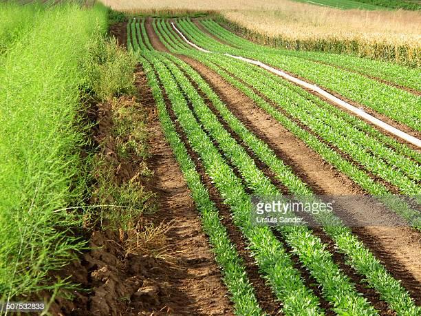 Asparagus, rucola and wheat fields