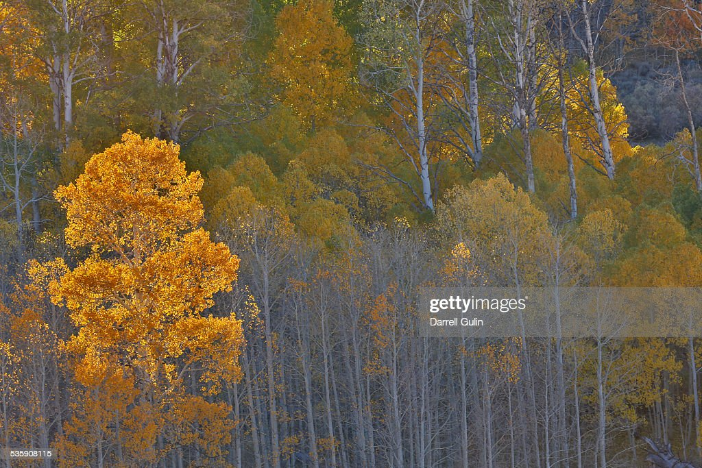 Aspen grove, Conway Pass : Stock Photo