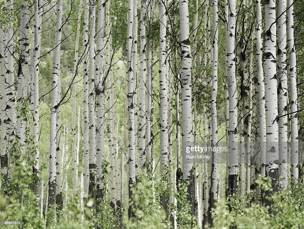 Aspen grove : Stock Photo