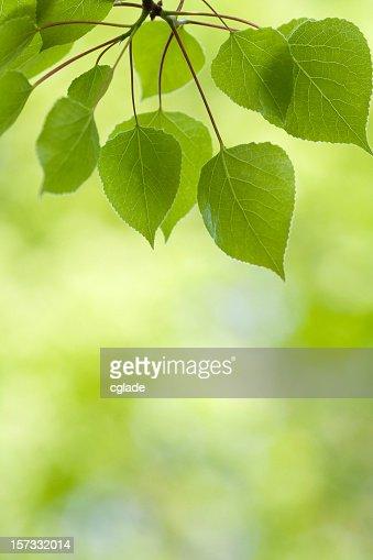 アスペンの葉のバックグラウンド