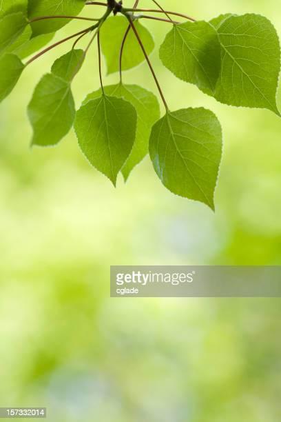 Aspen Leaf Background