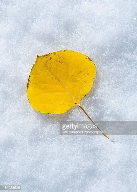 Aspen Leaf in Fresh Snow