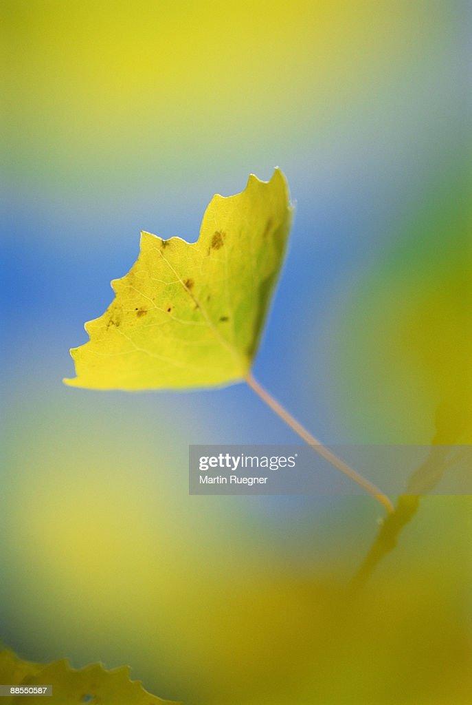 Aspen leaf : Stock Photo