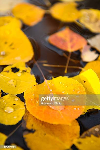 Aspen Leafs in Fall with Water Drops