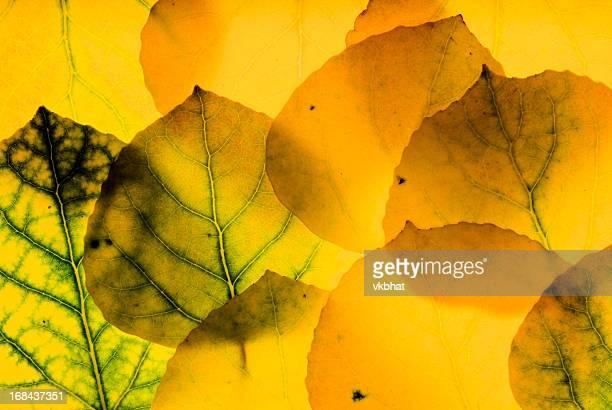 Aspen leaves background