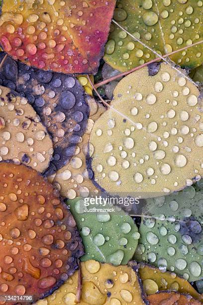 Aspen Leaves with Droplets
