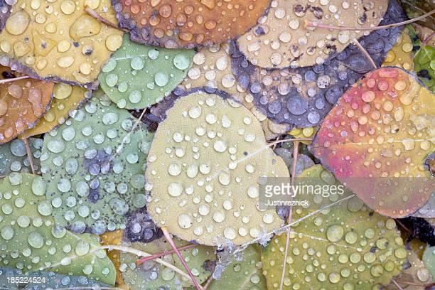Aspen Leaves with Rain
