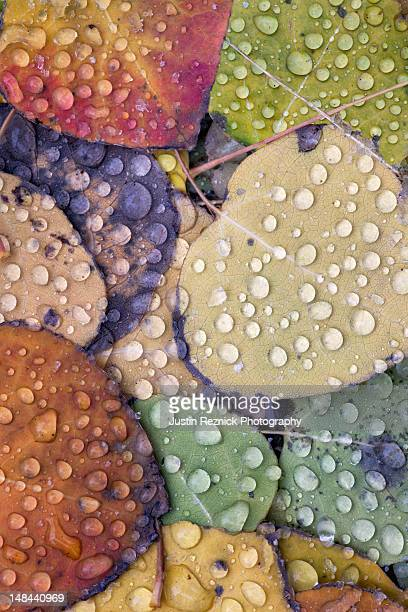 Aspen leaves with water droplets