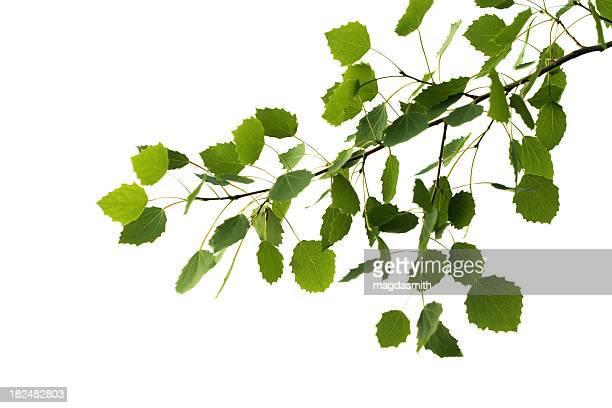 aspen tree branch isolated