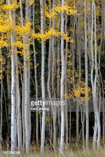 ヤマナラシノキグローヴで秋の葉