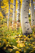 Aspen tree in colorado