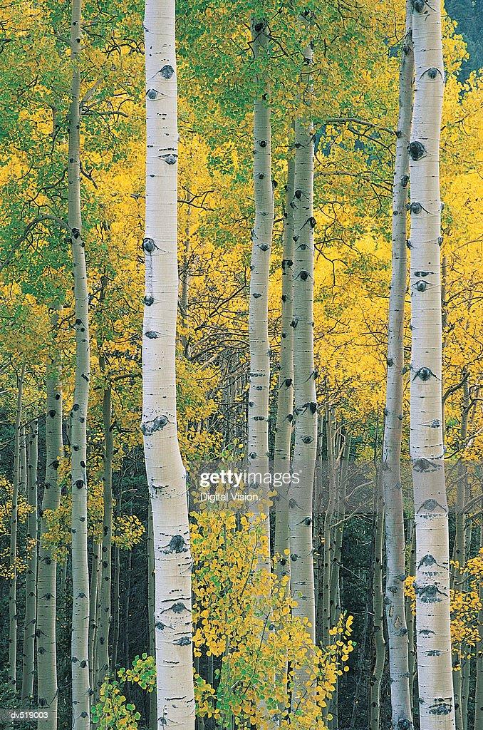 Aspen Tree Trunks, near Red River, New Mexico, USA : Stock Photo