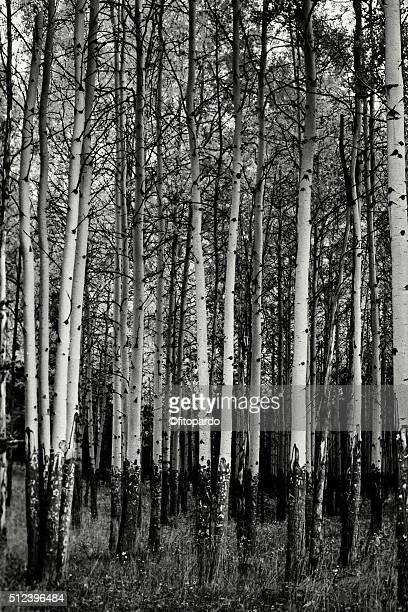 Aspen trees at Banff National Park