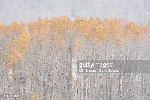 Aspen trees in autumn during snow fall. The Wasatch Mountains in Utah. : Stock Photo