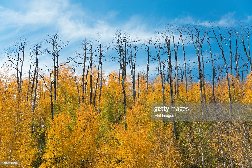 Aspen trees in autumn foliage, and the tall bare trunks of trees after fire