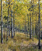 Aspen Trees In Autumn Foliage
