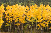 """""""Aspen trees turning to a bright yellow in Rocky Mountain National Park near Estes Park, CO.Other Autumn Images:"""""""