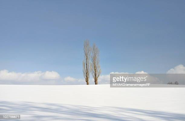 Aspen trees in snow field, Hokkaido Prefecture, Japan