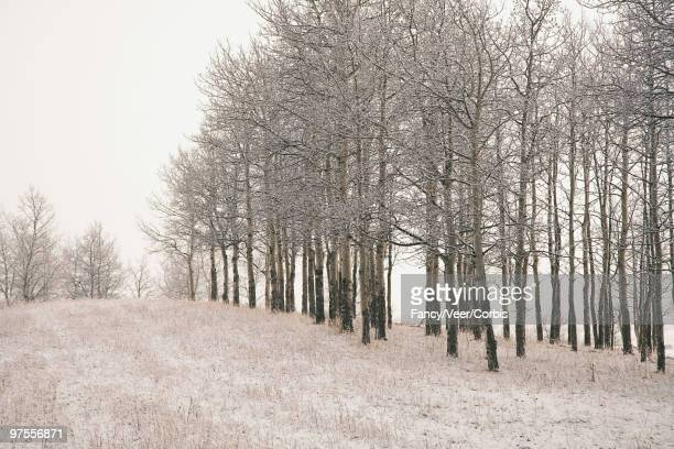 Aspen trees in winter landscape