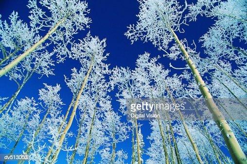 Aspen Trees, Steamboat, Colorado