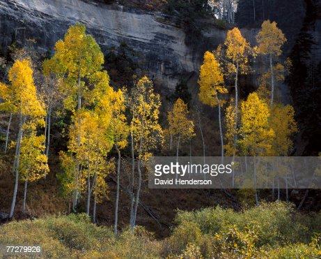 Aspens, Cedar City, Utah, USA : Stock Photo