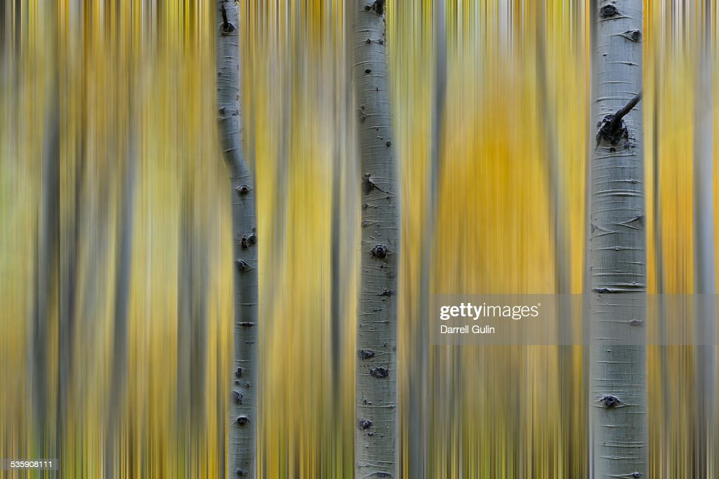 Aspens in Fall color : Stock Photo