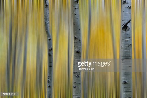 Aspens in Fall color : Foto de stock