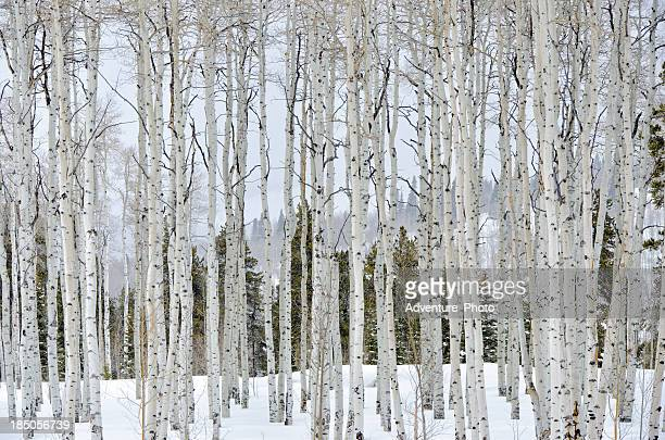 Aspens im WInter