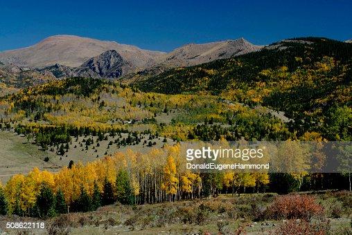 Aspens Near Victor, Colorado : Stock Photo