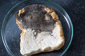 Asperillus niger in Bread, Microbiology for education in laboratories.