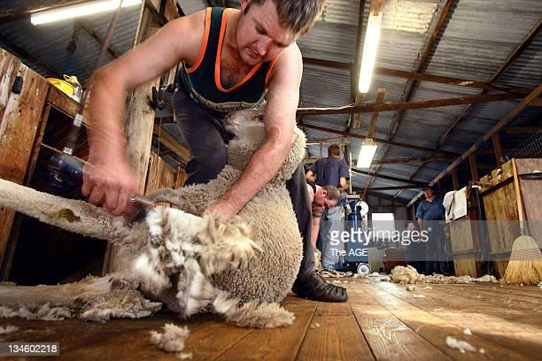 Aspiring world champion shearer Jason Wingfield training for next year's world shearing championships by shearing cross bred sheep at a bunyip farm...