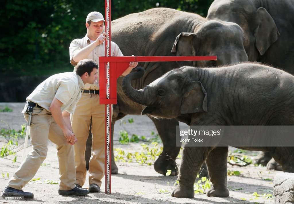 Assam an Asian elephant is measured by zookeepers during a baby animals inventory at Hagenbeck zoo on May 16 2013 in Hamburg Germany
