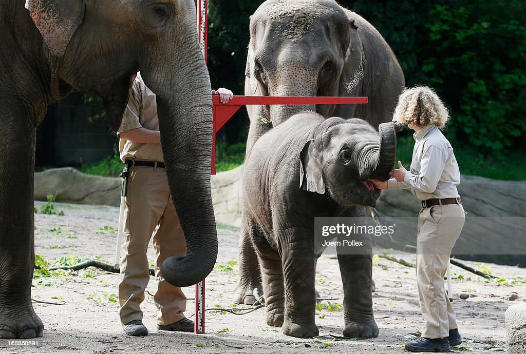 Assam, an Asian elephant is measured by zookeepers during a baby animals inventory at Hagenbeck zoo on May 16, 2013 in Hamburg, Germany.