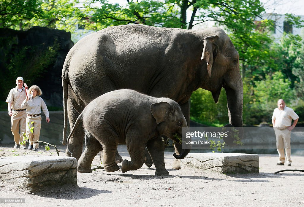 Assam, an Asian elephant walks near a full grown elephant during a baby animals inventory at Hagenbeck zoo on May 16, 2013 in Hamburg, Germany.