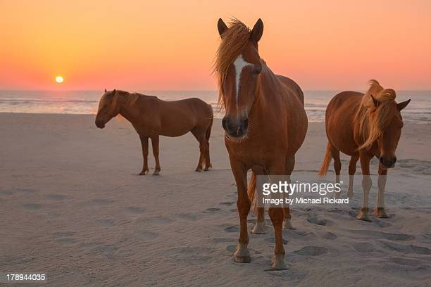 Assateague Island Wild Horses
