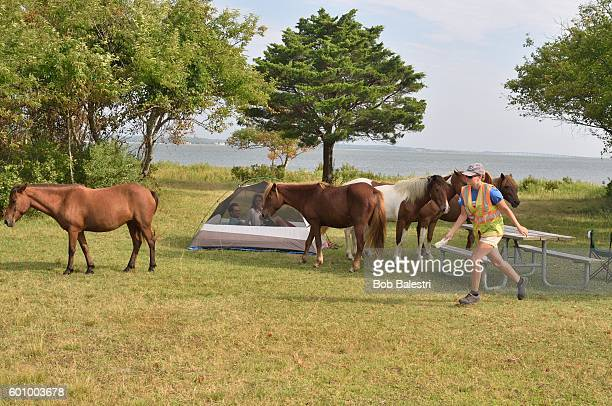 Assateague Ponies Being Chased Away