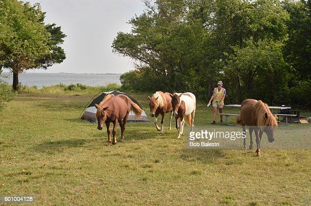 Assateague Ponies Being Herded